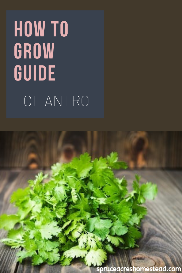How To Grow Guide Cilantro Spruce Acres Homestead